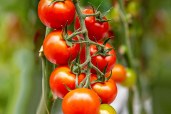 gemuesehof-eggers_brioso-tomate_630x480px