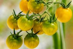 gemuesehof-eggers_cherry-tomate-gelb_630x480px