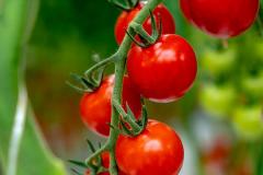 gemuesehof-eggers_cherry-tomate-rot_630x480px-1