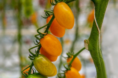 gemuesehof-eggers_dattel-tomate-orange_630x480px