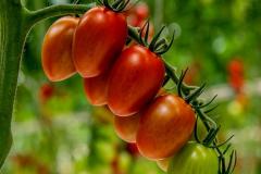 gemuesehof-eggers_eier-tomate_630x480px