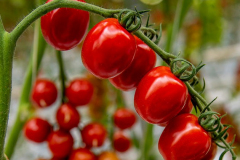 gemuesehof-eggers_paprika-tomate_630x480px
