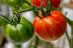 gemuesehof-eggers_safari-tomate_630x480px