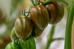 gemuesehof-eggers_tiger-eier-tomate_630x480px