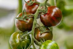 gemuesehof-eggers_tiger-tomate_630x480px